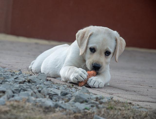 štěně okousává kdeco